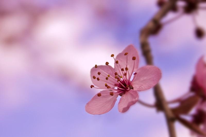 Hoa anh đào - Sakura