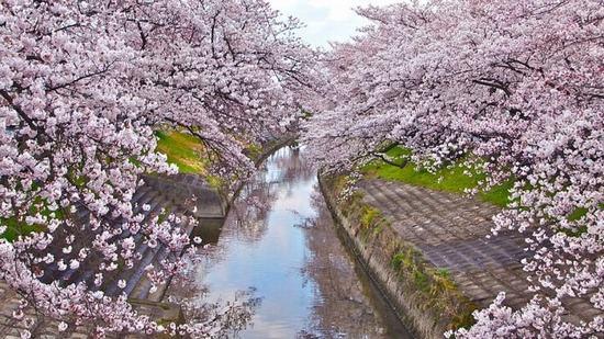 mùa hoa Anh đào