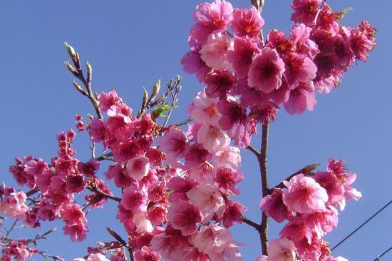 Hoa anh đào - Quốc hoa Nhật Bản