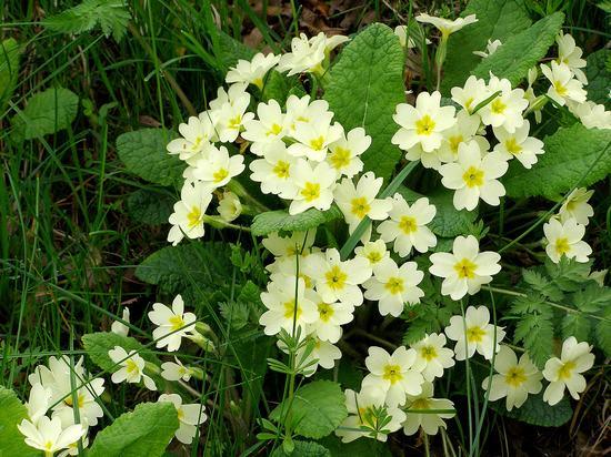 Hoa anh thảo trắng tinh khôi