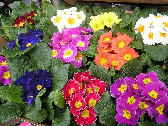 Đa dạng màu sắc của Hoa anh thảo