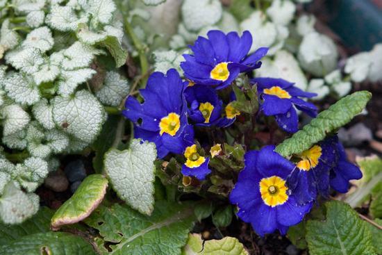 Hoa ngọc trâm màu tím
