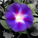 hoa bìm bìm màu tím