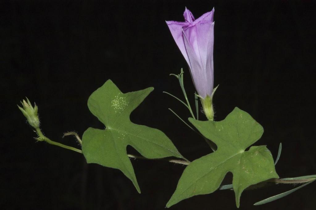 Hoa bìm bìm