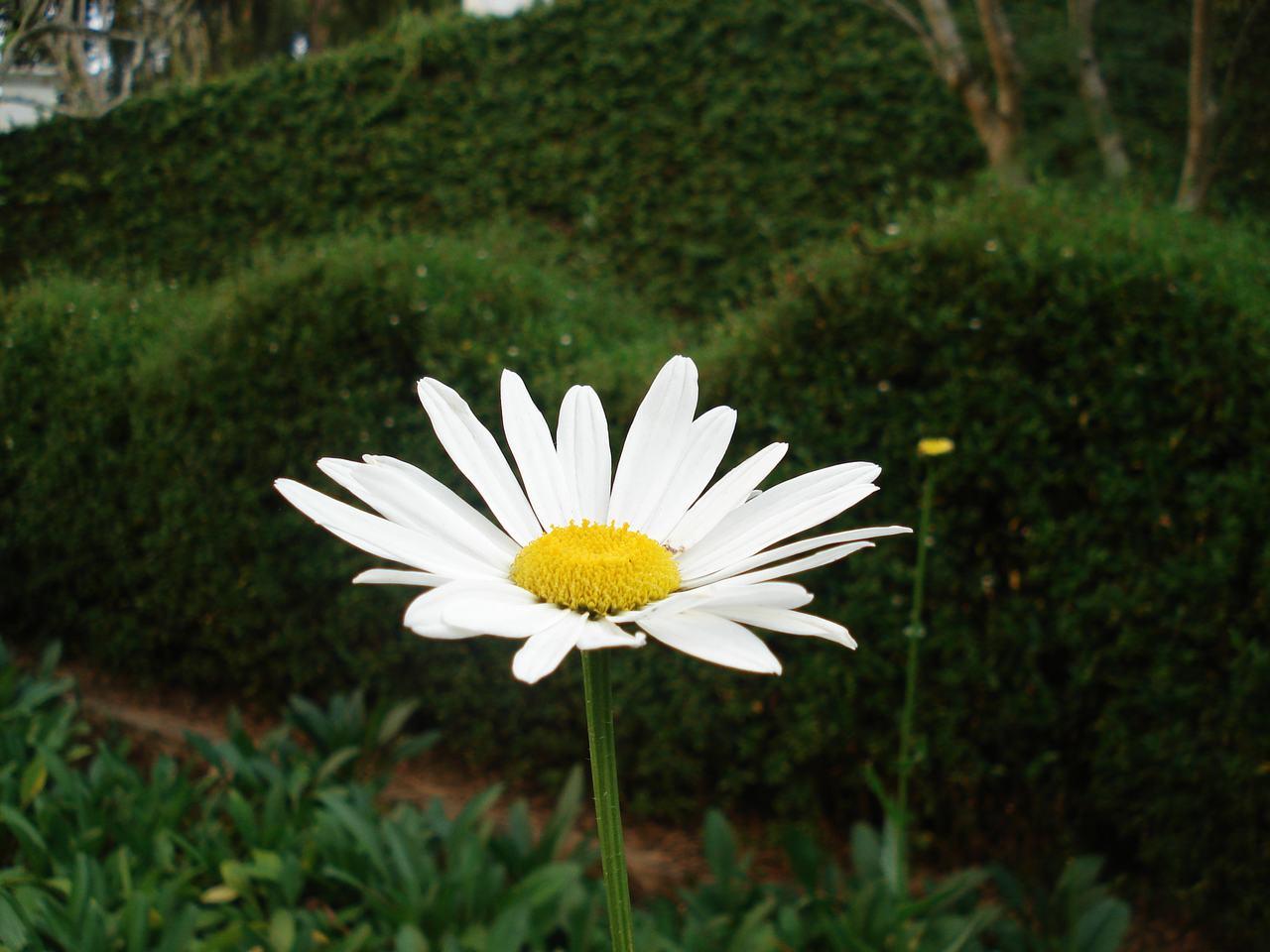 Ảnh nền hoa cúc trắng