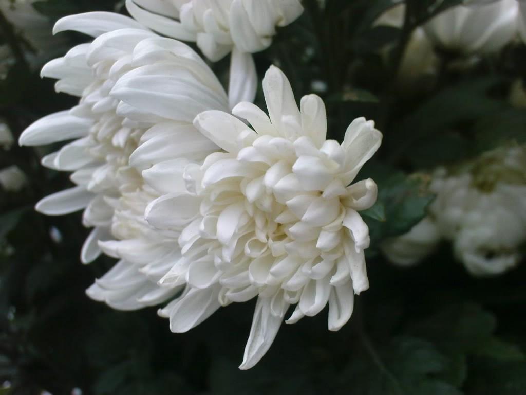 hoa-cuc-trang (5)
