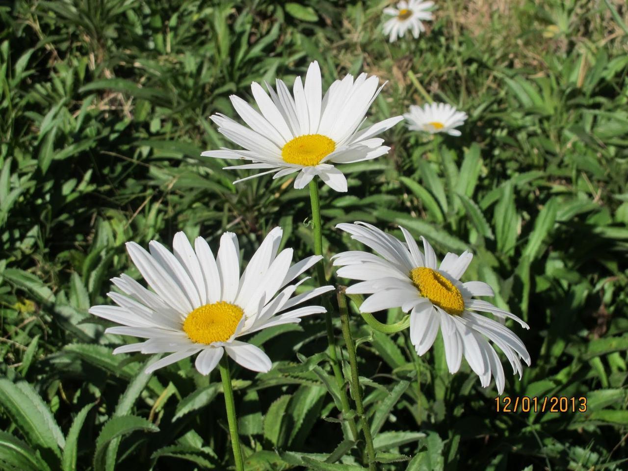 tôi yêu hoa cúc trắng