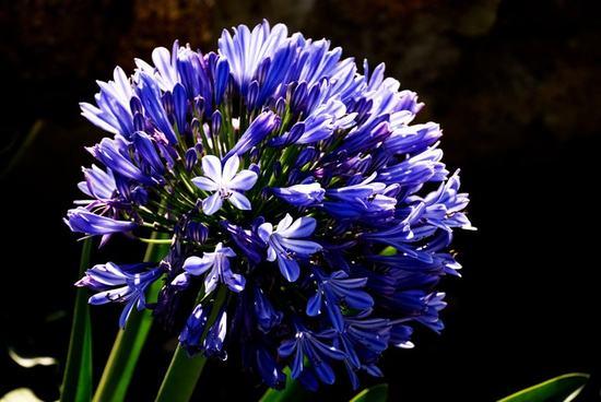 Bông thanh anh với màu xanh tím đặc trưng