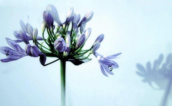 Bông hoa thanh anh
