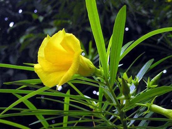 Vẻ đẹp hoa Trúc đào