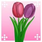 ve hoa tulip