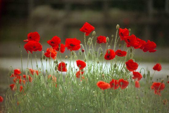 Cánh đồng hoa anh túc