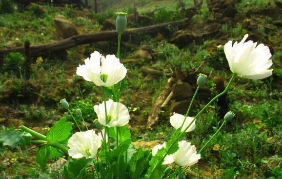 Khóm hoa anh túc trắng
