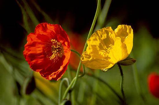 Hoa anh túc đỏ và vàng