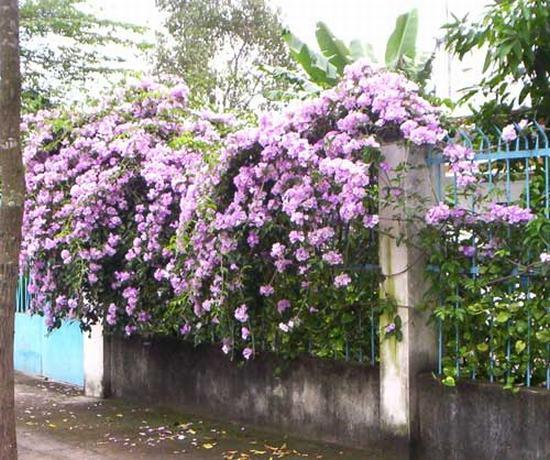 Hàng rào hoa ánh hồng