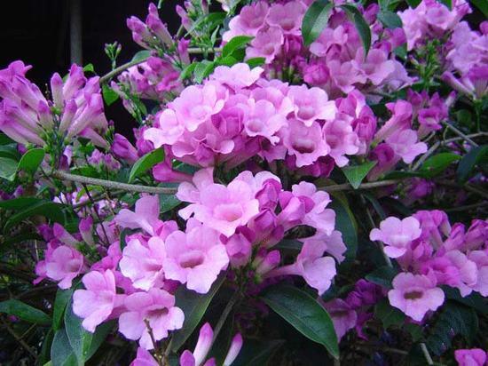 hoa ánh hồng, hoa bâng khuâng, hoa lan tỏi