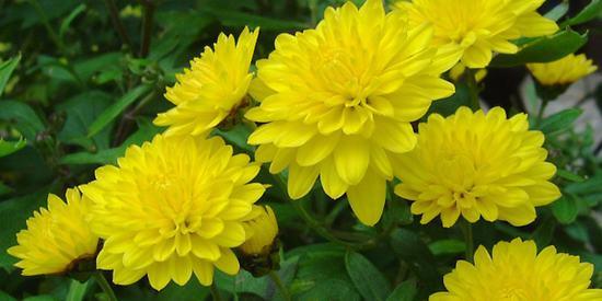 Trồng và chăm sóc hoa cúc