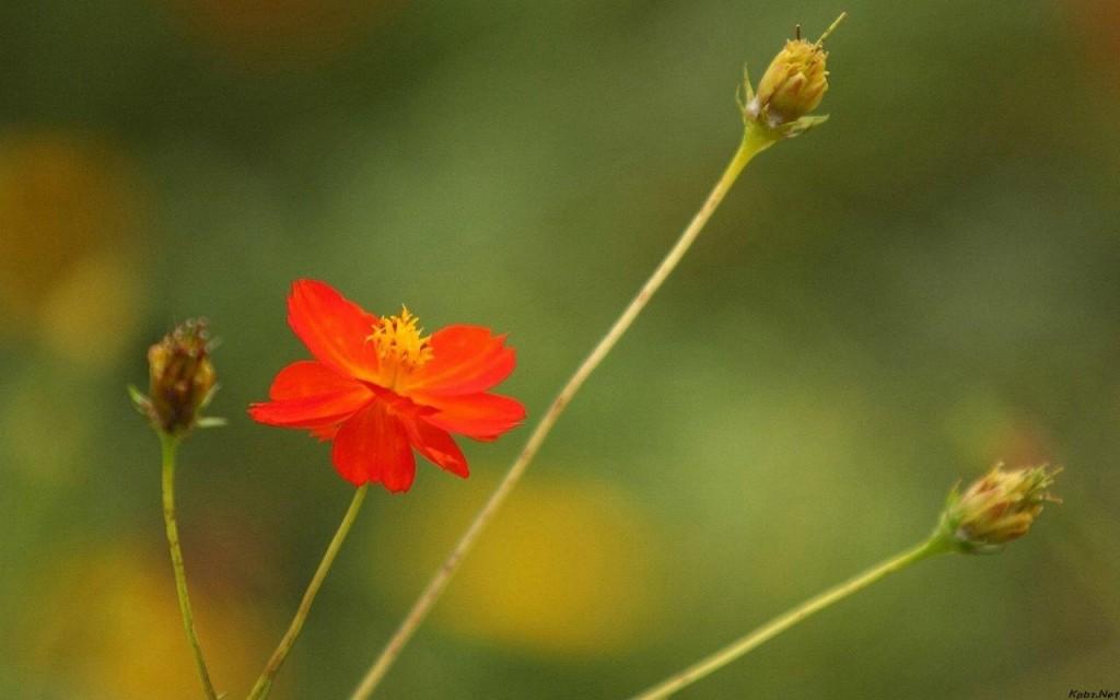 Hoa cúc bướm mong manh lẻ loi