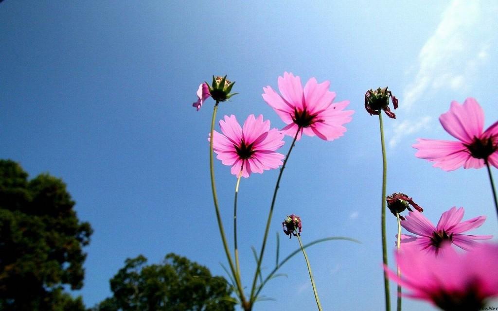 Hoa cúc bướm dưới nắng