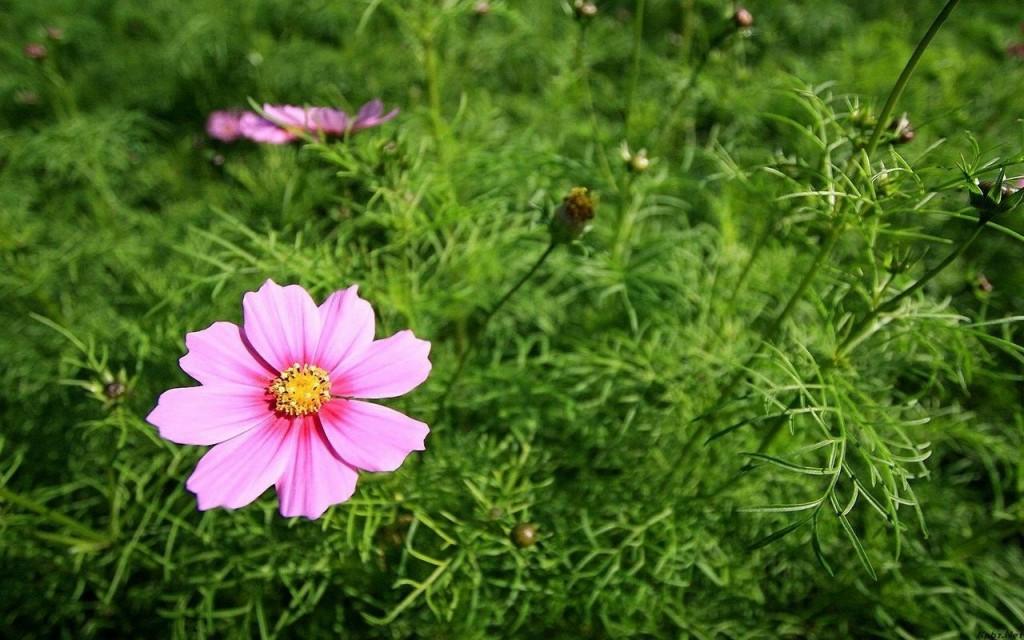 Mỏng manh hoa cúc bướm