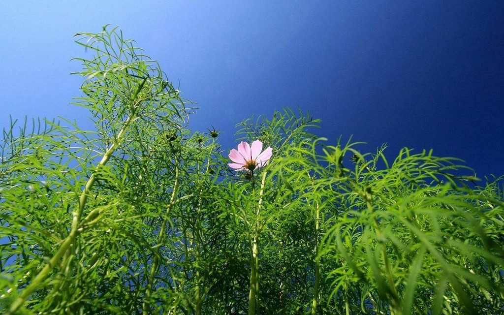 Một màu xanh hoa sao nhái