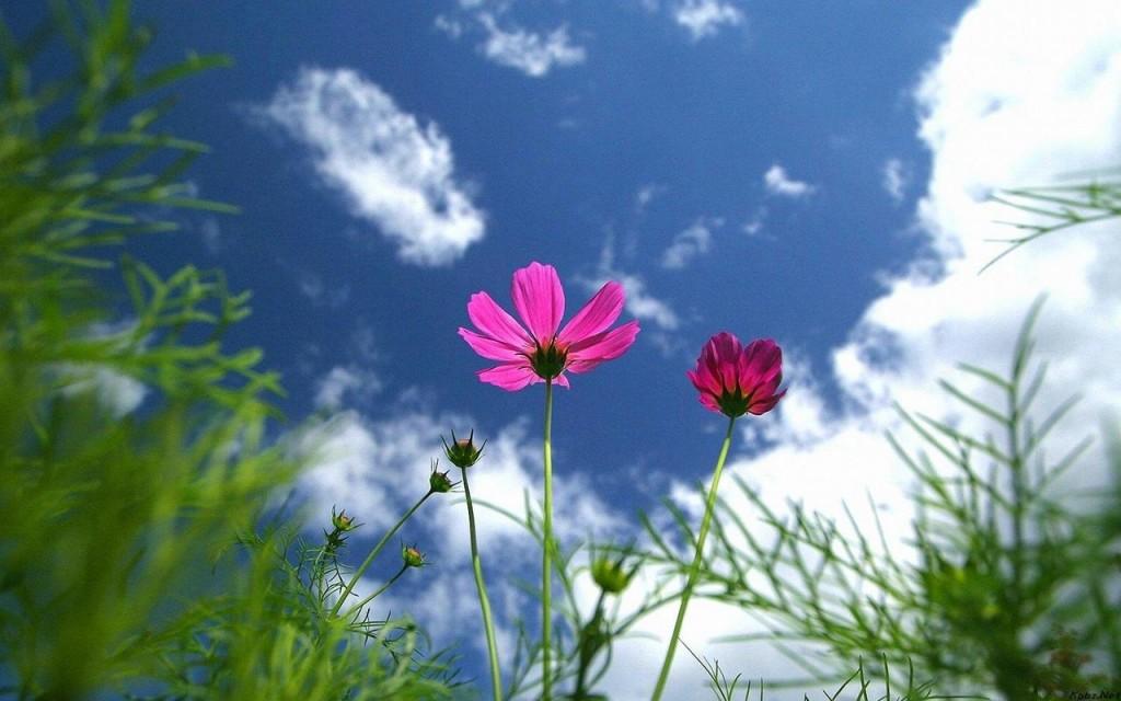 Hình nền hoa cúc sao nhái