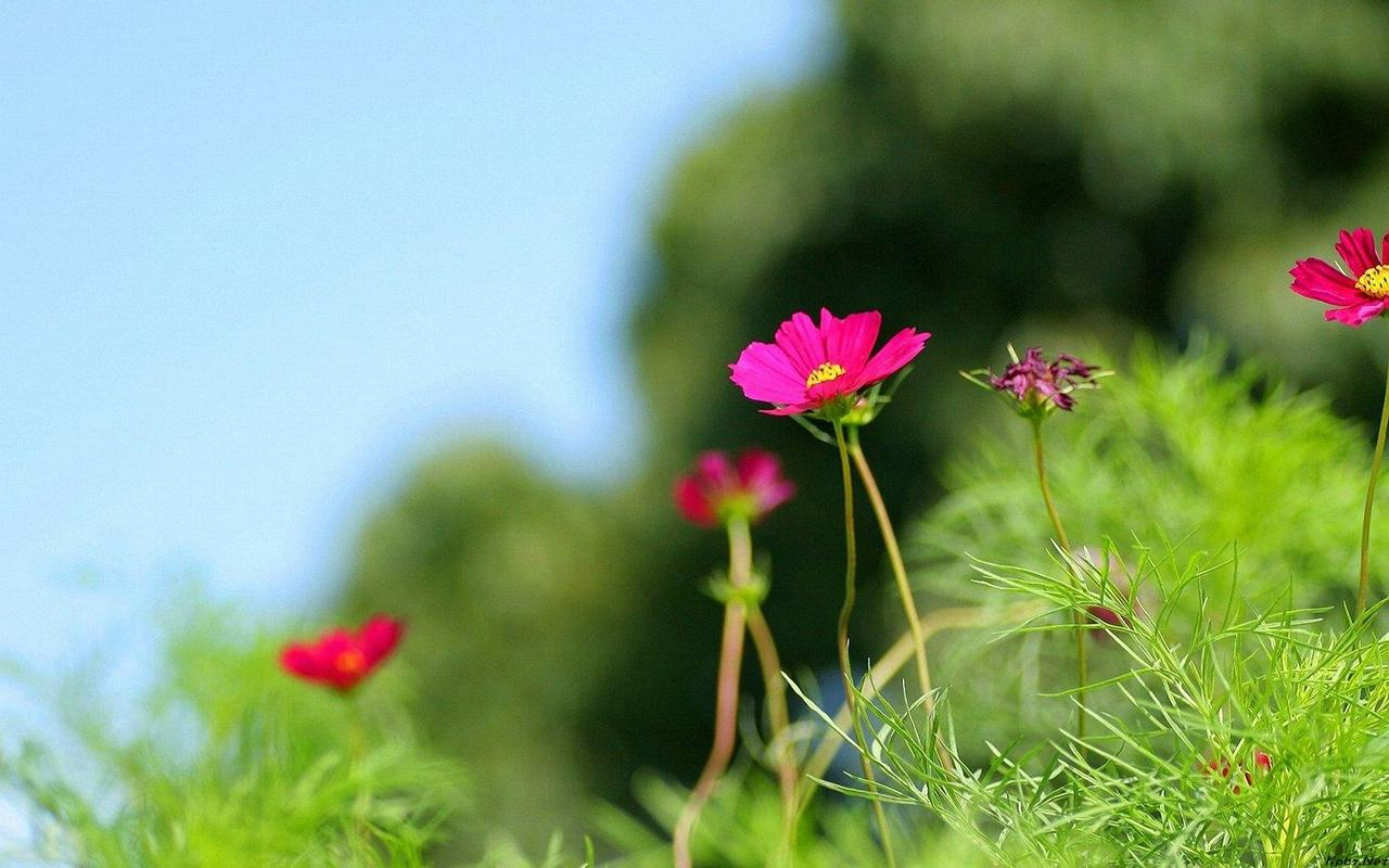 Hình nền hoa cúc bướm chất lượng cao