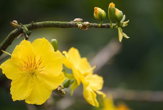 Giữ hoa mai tươi lâu trong ngày tết