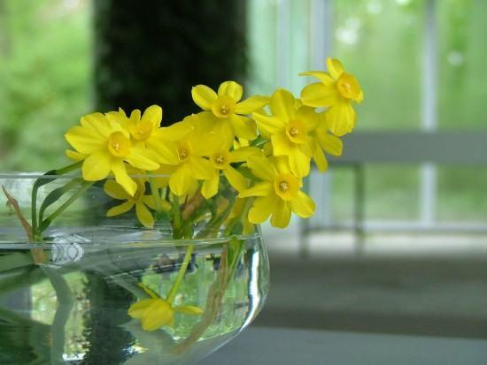 Giữ hoa thủy tiên tươi lâu trong ngày tết