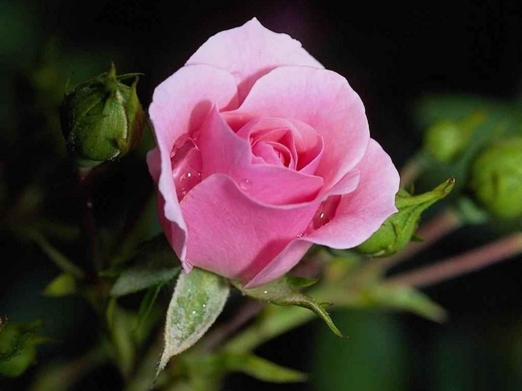 Pink Rose lãng mạn