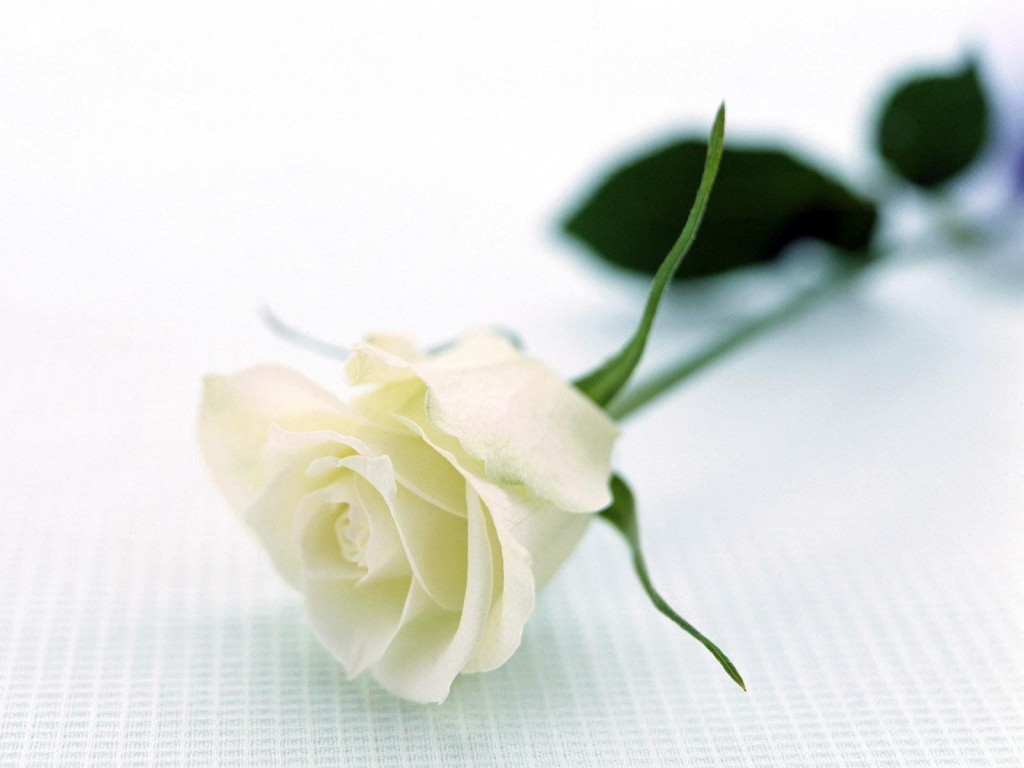 Bông hoa hồng trắng tinh khôi