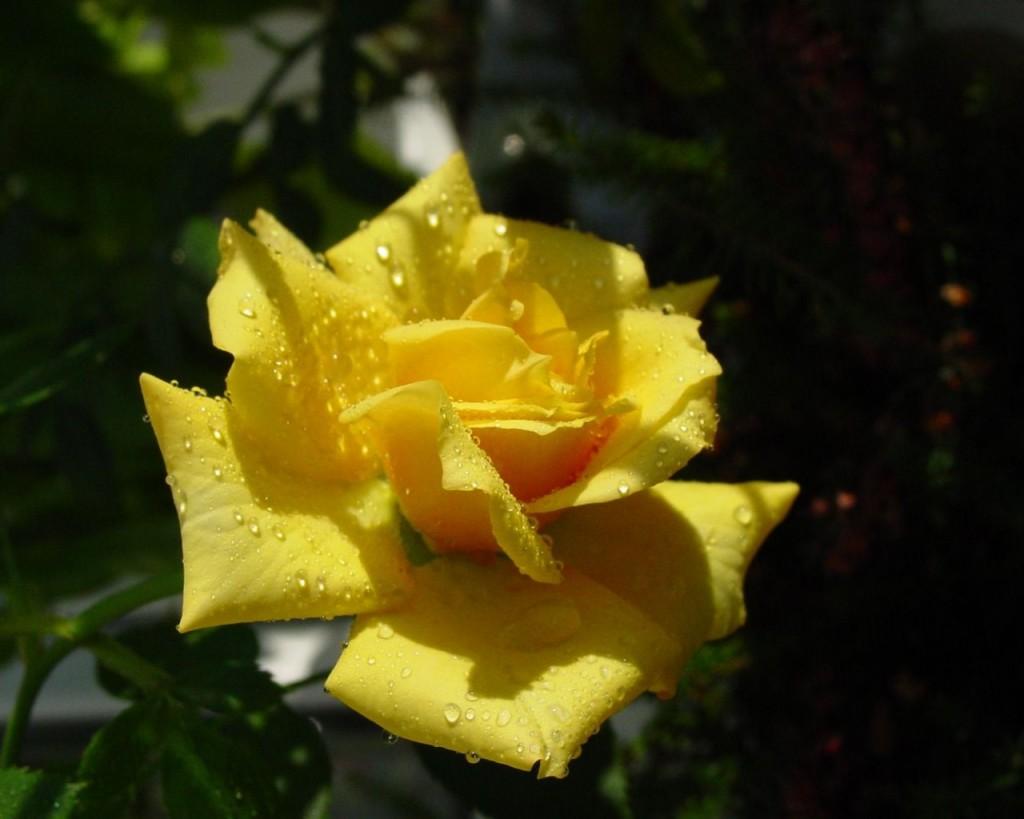 Hoa hồng vàng siêu đẹp