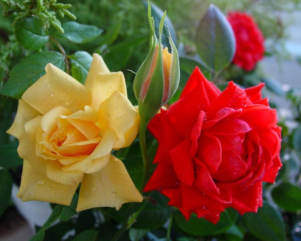 Hai bông hồng sánh đôi