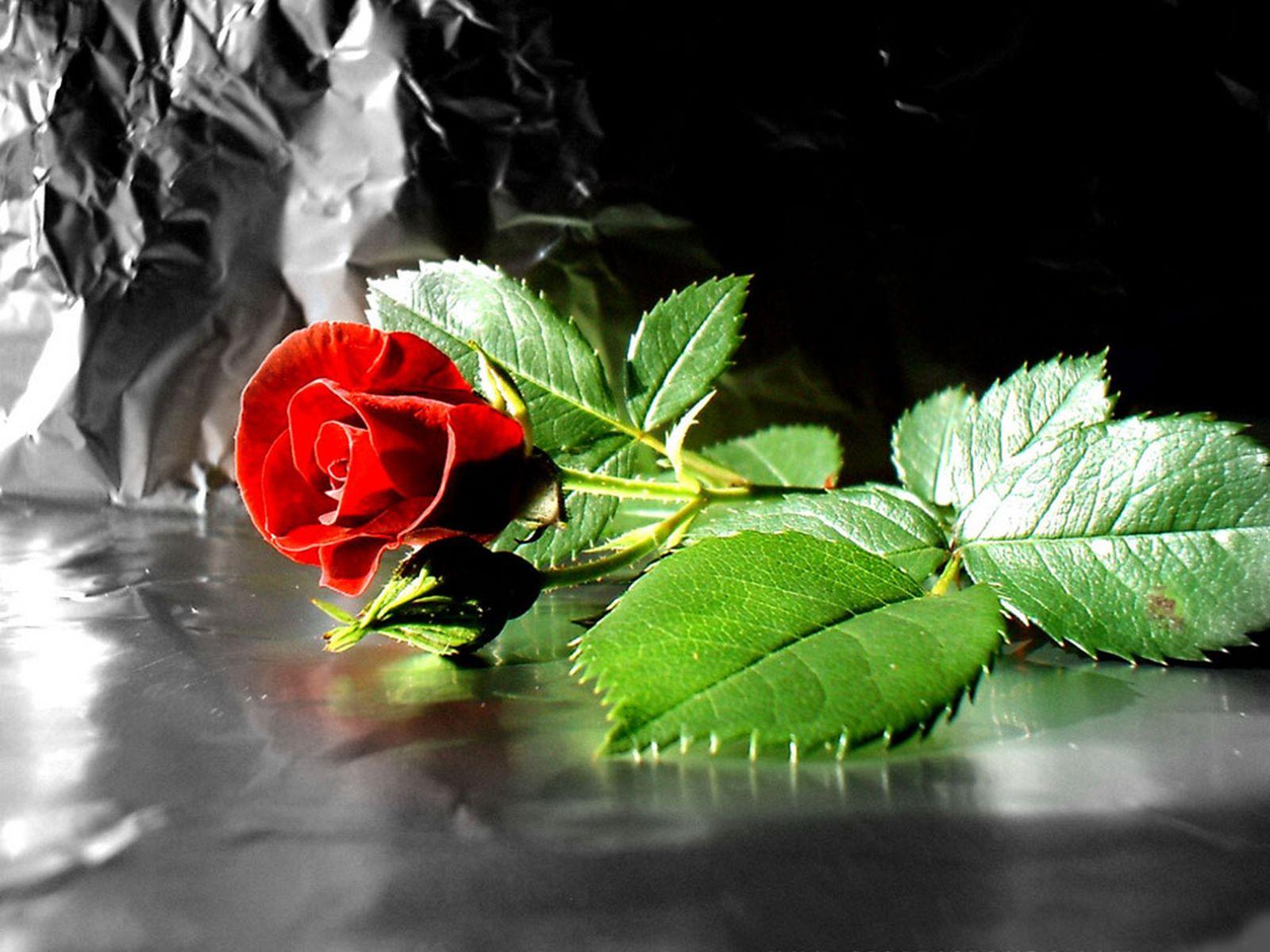 Hình nền hoa hồng tuyệt đẹp