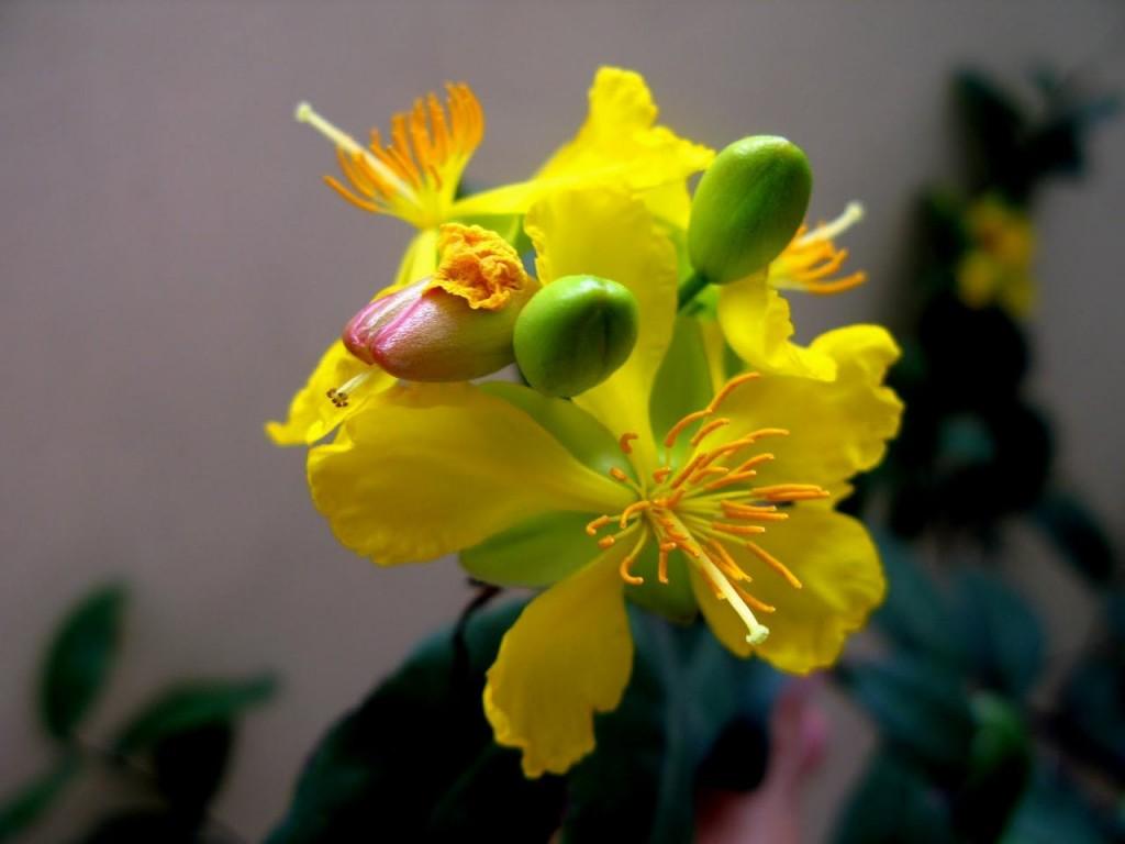 Bông hoa mai vàng khoe sắc