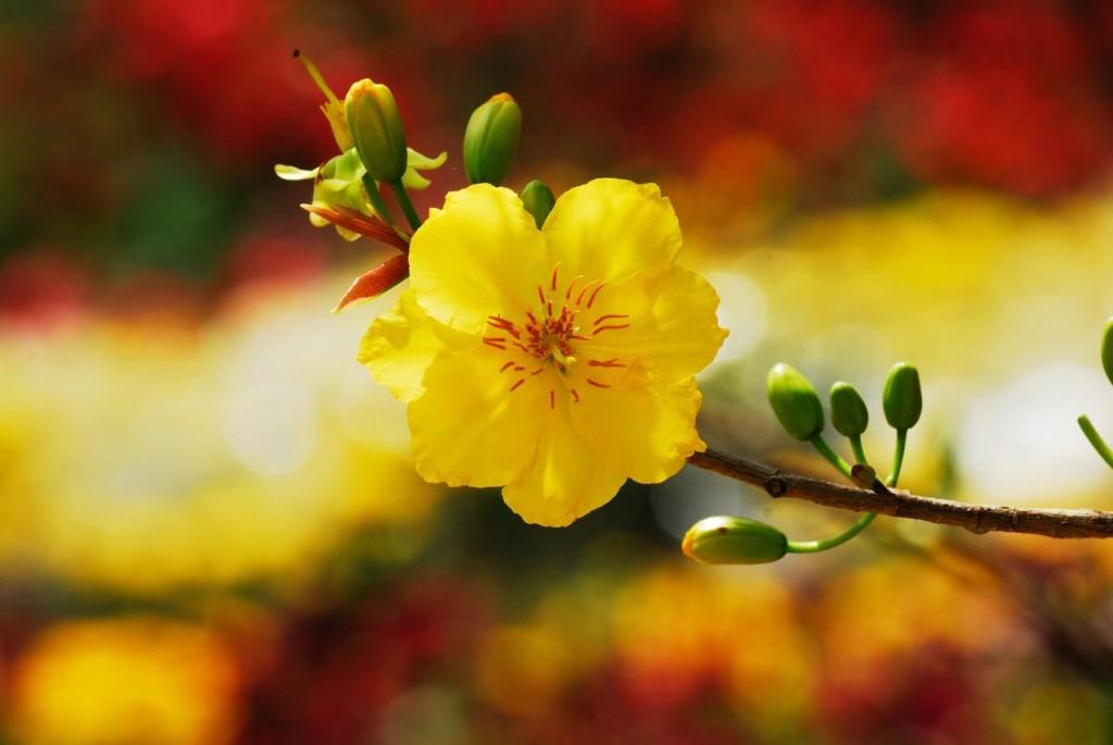 Hoa mai và sắc đỏ