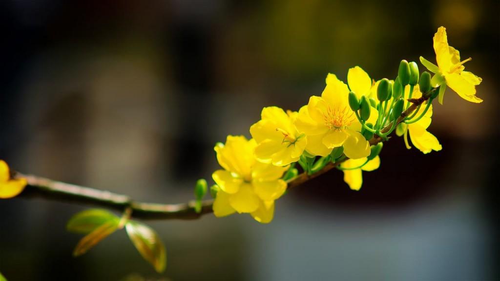 Cành mai vàng báo mùa xuân về