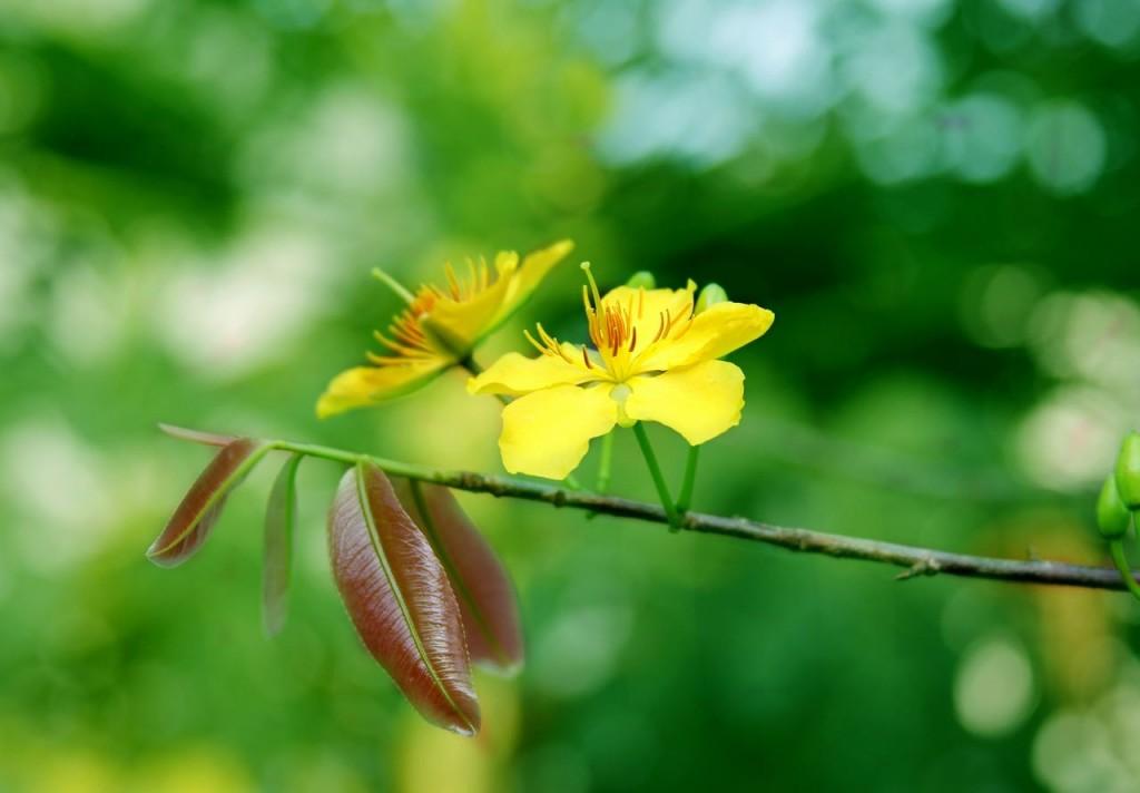Hoa mai vàng mong manh với lộc