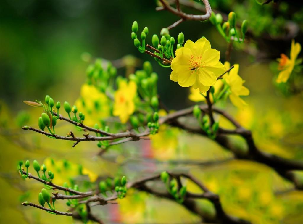 Nụ và hoa mai kheo sắc xanh và vàng của mùa xuân