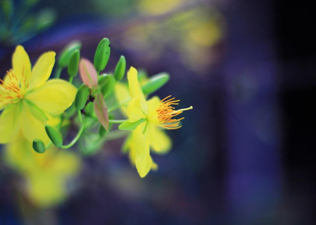 Hoa mai vàng và nụ