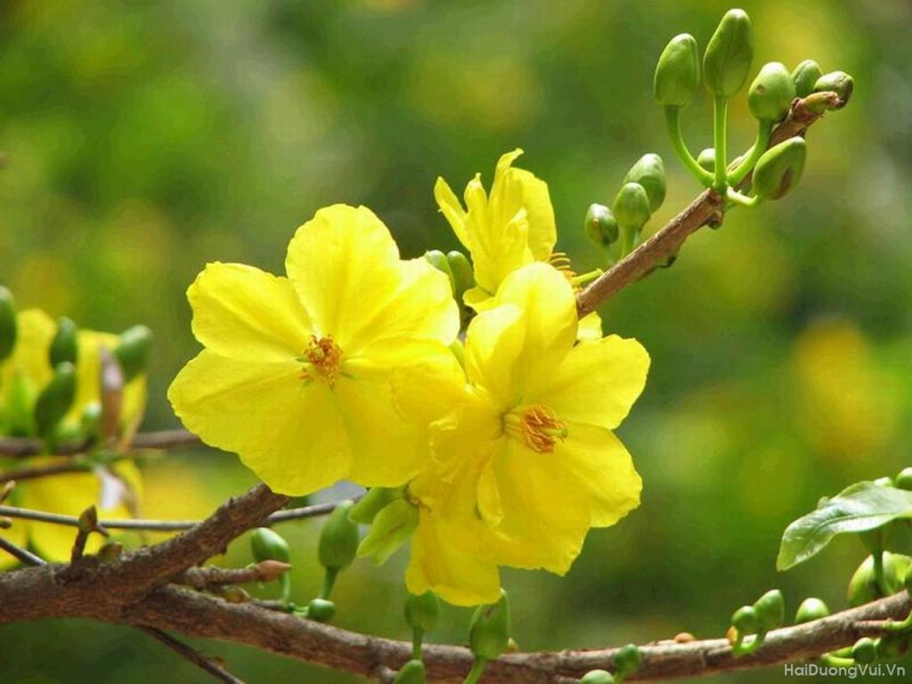 Xuân về cùng hoa mai