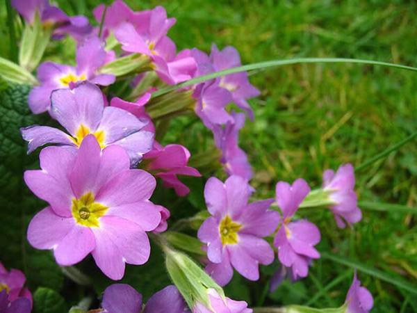 Ngửi nhiều hoa anh thảo gây huyết áp cao, hoa mắt