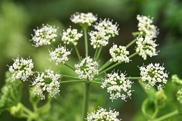 hoa bạch chỉ chữa bệnh