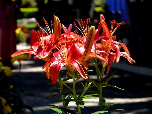 Mùi hoa bách hợp gây kích ứng mạnh cho thần kinh trung ương
