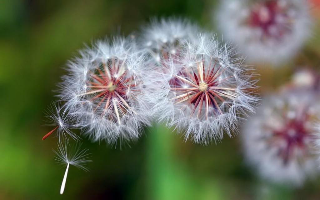 3 đóa hoa bồ công anh