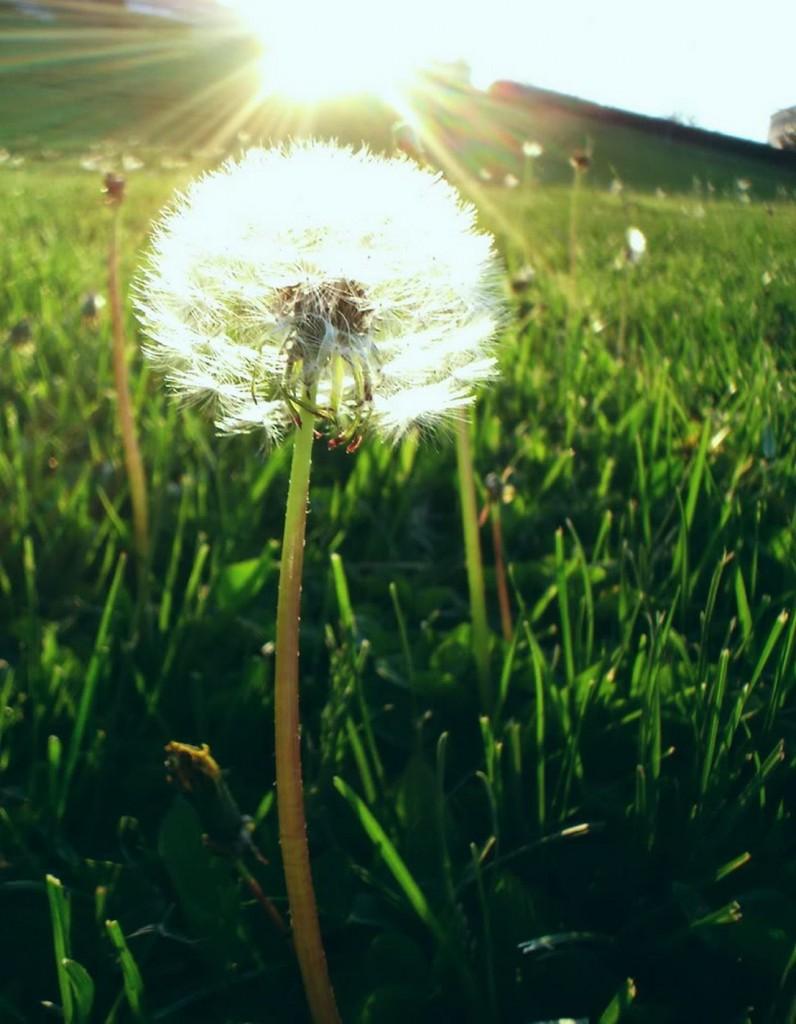 nắng sớm trên cách đồng hoa bồ công anh