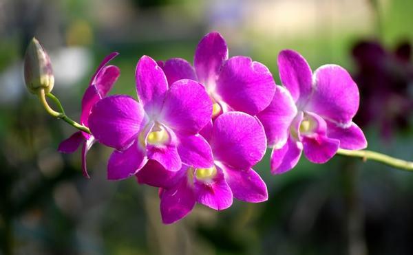 Mùi thơm của hoa Lan gây mất ngủ