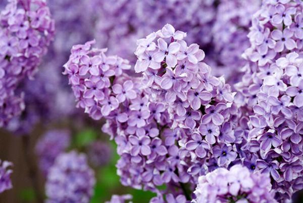 Phấn hoa tử kính gây kích ứng mũi