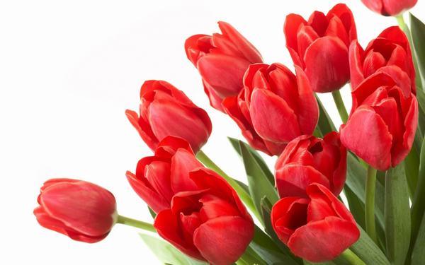 Hoa tulip gây kích ứng da