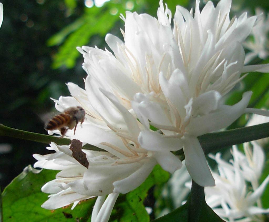 chụp cận cảnh hoa cà phê